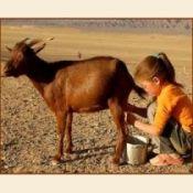 Чим корисно козяче молоко дітям і дорослим?