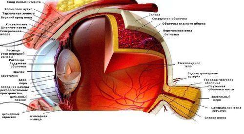 Що таке палички і колбочки сітківки ока