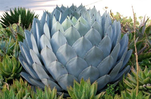 Квітка агава. Фото