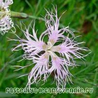 Дівоча краса квітка (гвоздика пишна), фото, опис, застосування