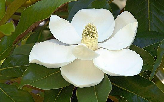 Диффенбахия цветок