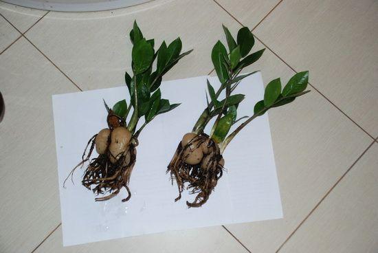 Подкормка и пересадка растения
