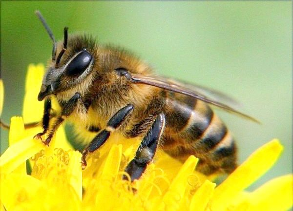 Буркуновий мед корисні властивості і протипоказання