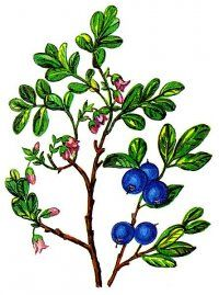 Лохина садова - лохина лікувальні властивості, користь, рецепти