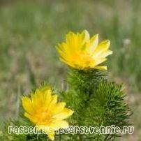 Горицвіт весняний - застосування. Адонізід (інструкція із застосування)