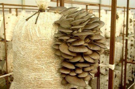 Гриби шиитаке - вирощування в домашніх умовах