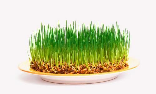 Як пророщувати зерна?
