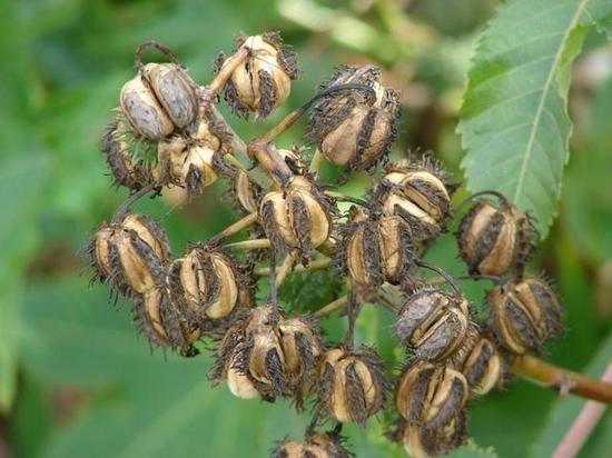 Клещевина выращивание из семян