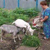 Козяче молоко: користь і шкода, рецепти