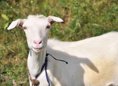 Користь козячого молока при алергії