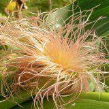 Лікування захворювань кукурудзяними рильцями
