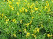 Лікарська рослина чинулугова жовта