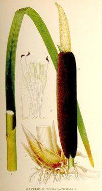Лікарська рослина рогіз широколистий