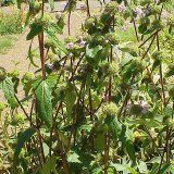 Лікарська рослина зопник клубненосний
