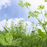 Лікарські рослини протипоказані при вагітності