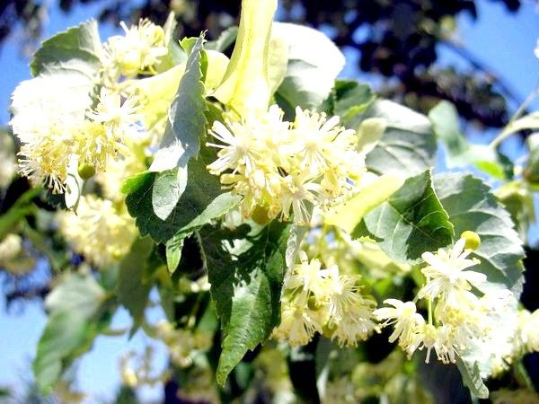 Липовий цвіт лікувальні властивості і протипоказання