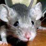 Досліди на мишах: боротьба з ожирінням