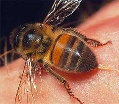 Бджола після укусу