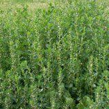 Показання до застосування трави споришу