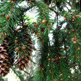 Корисні властивості хвойних рослин