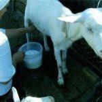 Корисні властивості козячого молока