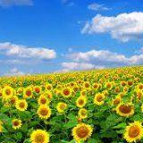 Корисні властивості продуктів соняшнику