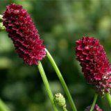 Корисні властивості рослини кровохлебка