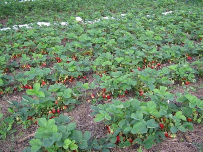 Полив клубники во время плодоношения