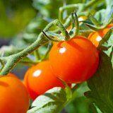 Користь помідорів для здоров`я людини
