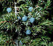 Рослини з їстівними плодами