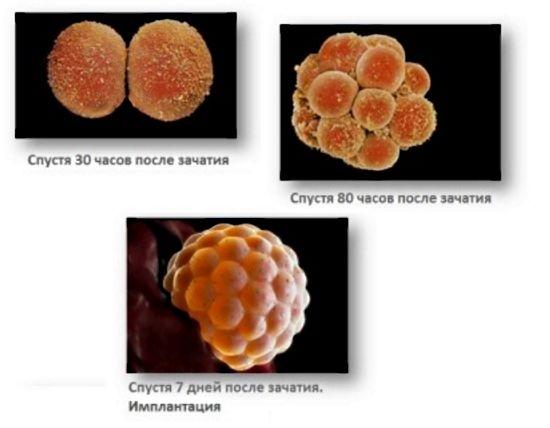 Размеры эмбриона по неделям беременности