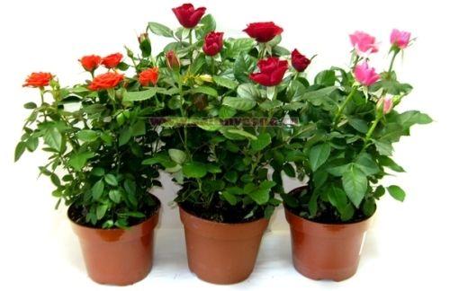 Роза кордана микс как ухаживать после покупки