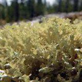 У чому користь ісландського моху для організму