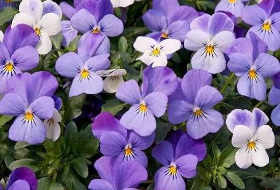 Виола ампельная выращивание из семян